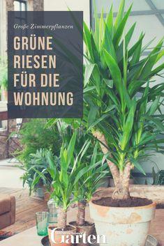 Große Zimmerpflanzen: Grüne Riesen Für Die Wohnung