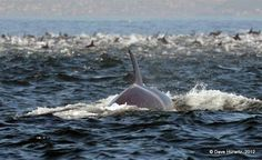 Orcas in Simonstown - hunting Dolphins - very rare to see Orcas on the Cape Coast