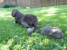 Well now, that tail looks mighty tasty! Chocolate Labradoodle, Tortoises, Poodle, Labrador Retriever, F1, Dogs, Tasty, Animals, Female