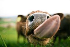 cow!!