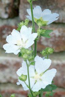 New Flowers Garden White Perennials Ideas Outdoor Plants, Garden Plants, Wildflower Centerpieces, White Plants, Good Morning Flowers, Malva, White Gardens, Flower Images, Winter Garden