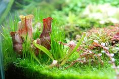 Nano Aquarium with Carnivorous Plants - Album on Imgur
