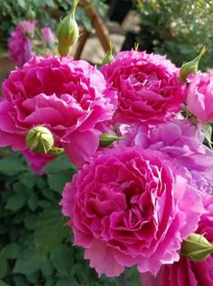 Pink Roses, Pink Flowers, Heather Flower, Different Types Of Flowers, Hydrangea Garden, Galaxy Wallpaper, Flower Beds, All The Colors, Peonies