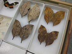 Lepidopterist Bob Robbins displays the butterfly collections at the Smithsonian's National Museum of Natural History. Shown: some of the many leaf-wing butterflies who use camoflage to hide from predators. Lynda Barry, Insect Art, Beautiful Bugs, Science And Nature, Natural History, Just In Case, Art For Kids, Objects, Butterfly