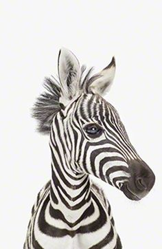 Little Darlings / Baby Zebra - Sharon Montrose photography - http://www.theanimalprintshop.com/Nursery-Art/ - - http://www.sharonmontrose.com/