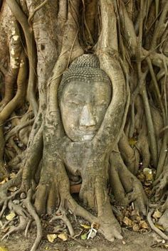 stone buddha head in the tree roots, Ayutthaya is old capital of Thailand  Stock Photo