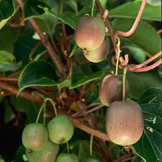 How to Grow Kiwi: Choose northern aspect (Aus), well drained soil allow 200 sq feet/plant, protect trunk from heavy frosts, train to trellis... harvest when skin truns brown and cut fruit shows black seeds