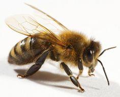 Researchers: Bee Venom Can Kill the #HIV Virus #AIDS