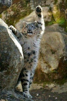 Snow leopard cub stands up, and WAVES! Cute Funny Animals, Cute Baby Animals, Cute Cats, Nature Animals, Animals And Pets, Wild Animals, Beautiful Cats, Animals Beautiful, Beautiful Pictures