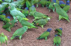 Parrot clay lick | Flickr - Photo Sharing!