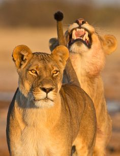 The girls... - by Professional Wildlife Photographer   Hendri Venter -