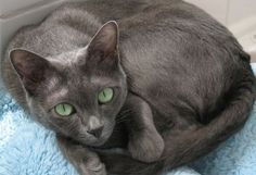 Korat (Cat Breed) - http://allkitties247.com/all-about-cats/cat-breeds/korat-cat/