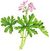 Cooking with scented geranium with recipe for scented geranium lemonade. Health benefits of scented geranium. Origins, varieties and cultivation.