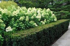 lime light hydrangeas and yews for privacy and border