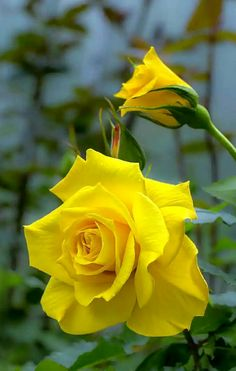Beautiful Flowers Wallpapers, Beautiful Rose Flowers, Exotic Flowers, Amazing Flowers, Pretty Flowers, Floral Wallpapers, Phone Wallpapers, Rosa Rose, Rose Pictures