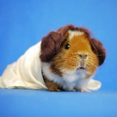 Adorable Guinea Pig Cosplay http://geekxgirls.com/article.php?ID=5103