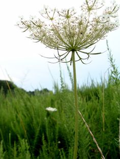 queen anne's lace or daucus carota ♦ wild carrot ♦ bird's nest ♦ bishop's lace ♦ cow parsley Meadow Flowers, May Flowers, White Flowers, Prairie Meadows, Flower Words, Cow Parsley, Simple Wedding Decorations, Moon Garden, Queen Annes Lace
