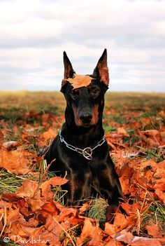 I must get a Doberman! This pic is beautiful, and perfect for this time of year.