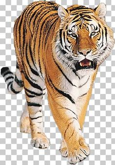 Tiger Images, Tiger Pictures, Birthday Background Images, Love Background Images, Best Love Proposal, Nature Desktop Wallpaper, Cat Species, Best Resolution, Free Photoshop