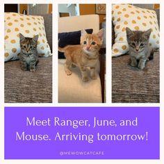 Look who's coming tomorrow! Ranger. June and Mouse #mewow #doylestownkitties #catcafe #kittenlove #kitten #kittens #ilovekittens #cats #cat #catsofinstagram #catstagram #kitty #catlover #instacat #kittensofinstagram #meow #catroom #catsandcoffee #catcafe #adoptdontshop #adoptacat #catadoption #rescuecat #kittensofinstagram #catlife #cutecats
