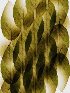 Color Verde Olivo - Olive Green leaves...