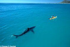 Great White Shark stalks ocean canoeist