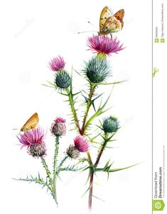 Thistle Two Species, With Butterflies. Botanical Watercolor Sketch On A White Background. Stock Illustration - Illustration: 84655626