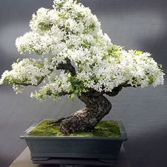 Bonsai is a Japanese art form using miniature trees grown in containers. Bonsai is plantings in tray or low-sided pot. Bonsai trees are awesome and most beautiful trees. Flowering Bonsai Tree, Bonsai Tree Types, Bonsai Tree Care, Indoor Bonsai Tree, Bonsai Trees, Bonsai Flowers, Wisteria Tree, Bonsai Apple Tree, Ikebana
