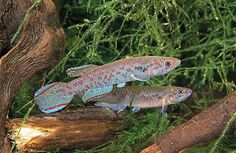 Scriptaphyosemion roloffi. Photo by Frank Tiegler. Courtesy: FishBase.