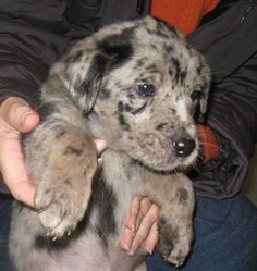 Bella, Female, Lab/Catahoula Hound/Australian Shepherd X, 7 weeks old.Bella and her siblings are a really beautiful mix of breeds.Mom is Catahoula/Lab X and has the spots to prove it. Dad is mostprobably an Australian Shepherd.Bella and her sister......... w/ HOME AGAIN in #Bancroft #ONTARIO