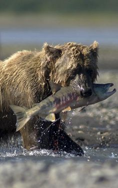 Grizzly Bear, Katmai, Alaska. I would like to go there with you. I don't really like that cat. Still want two hairless.