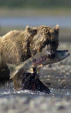Brown Bear, Katmai, Alaska