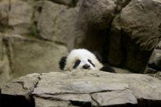 Bao Bao, 1/12/14 // PANDA   Flickr - Photo Sharing!