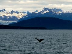 Auke Bay in Juneau, Alaska- Whale Tail. We saw playful families of Orcas.