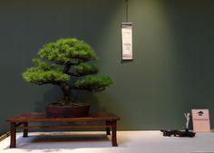 Jim Doyl  Banshosho Japanese Pine Bonsai