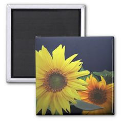 Sunflowers With Blue background Photo. Sunflower still life photo. multiple sizes are available. Great for home or office decor. Also a great gift idea for holidays, birthdays, anniversary, and house warming. Add your own text to personalize it to your own style.