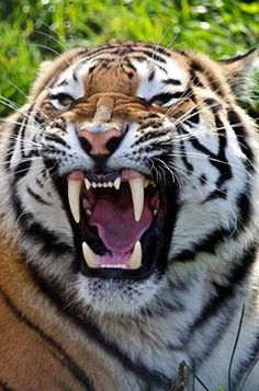 Watch out. I've had the opportunity to be less than three feet away from a yawning tiger with only two chainlink fences between us. Those teeth are enormous!!!