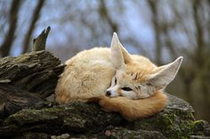 Sleeping Fennec Fox by Jérôme Paris - Photo 248977327 / Animals And Pets, Baby Animals, Cute Animals, Wild Animals, Animals Beautiful, Fennec Fox Pet, Foxes Photography, Creatures Of The Night, Fox Art