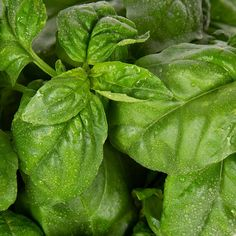 How To Grow Basil? Tips and Tricks Smart Garden, Big Leaves, Small Plants, Planting Seeds, Growing Plants, White Flowers, Basil, Plant Leaves, Herbs