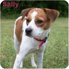 Jack Russell Terrier/King Charles Spaniel Mix Dog for adoption in Ozark, Alabama - Sally