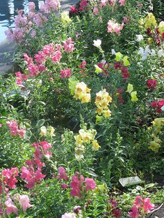 Snapdragons do well in pots and raised beds. They will come up from seed in the Spring and will continue to flower well into Fall. Bugs and animals seem to leave them alone. Regular watering and a little bit of miracle grow once a month will get them through the hottest part of Summer.
