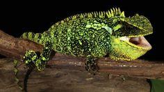 Зоологи обнаружили «мини-драконов» в Андах
