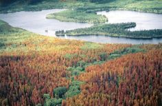 Pine trees near Grandby, Colo., show the signature rust color of the 'red stage' of a pine beetle attack.  (Jen Chase/Colorado State Forest Service/Associated Press)