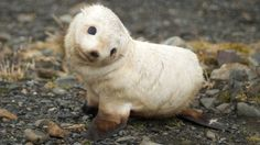 A perplexed baby seal