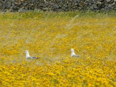 Two seagulls swimming in a sea of daysies along the road...   Mykonos, Greece, spring of 2013. #mykonos #ciclades #kiklades