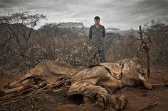 """CAÇA ILEGAL - Carcaça de um elefante abatido por caçadores furtivos, no norte do Quénia. """"Hoje, existem menos de 3500 tigres pantera na natureza, o que corresponde a menos de 7% da sua extensão histórica. Com os tigres, testemunhamos o trágico desaparecimento de um dos animais mais apreciados do planeta, nessa gama. Toda a população de uma vez."""" (Elizabeth L. Bennett, zoóloga norte-americana)"""