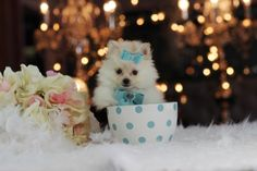 Breathtaking Cream Colored Pocketbook Pomeranian Patrick…