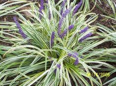 """Loriope """"Variegata"""" - handles full sun. Known for its two-tone leaves."""