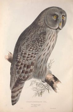 Great Cinereous Owl. The birds of Europe v.1 London,Printed by R. and J.E. Taylor, pub. by the author,1837. Biodiversitylibrary. Biodivlibrary. BHL. Biodiversity Heritage Library