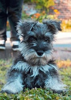 Miniature Schnauzer ready to pounce